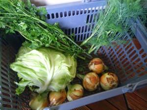バーベキュー用の野菜を収穫